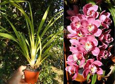 Cymbidium Hybride Rose, Orchidée, Orchid