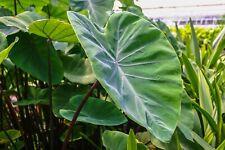 Live Violet Stem Taro Tropical Marginal Aquatic Pond Plant