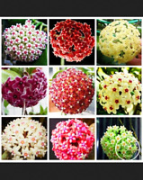 Hoya Bonsai Potted Plants Carnosa Flowers Flores Home Garden 100 PCS Seeds NEW Y