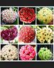 Hoya Bonsai Potted Plants Carnosa Flowers Flores Home Garden 100 PCS Seeds NEW Y