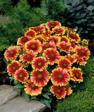 30PCS Indian Blanket Perennial Dwarf Gaillardia Flower Seeds Big Blooms Bicolor