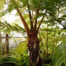 Cyathea Gleichenioides - 50 Spores / Seeds - New Guinea Coral Tree Fern - Cold