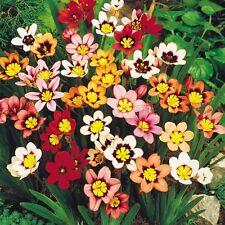 6 graines de FLEUR ARLEQUIN(Sparaxis Tricolor)G968 HARLEQUIN FLOWER SEEDS SAMEN