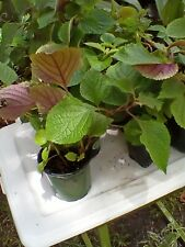 Rare Purple Swedish Ivy Plant