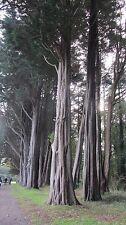 Pinus radiata, PINO DI MONTEREY, 25 semi.
