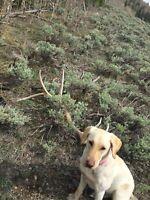 Colorado Rocky Mountain Elk Antler Dog Chew Large L Free Shipping!!!!!