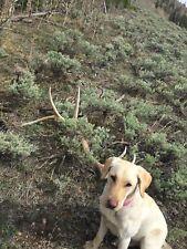 Colorado Fresh Elk Antler Dog Chews  L       Free Shipping!!!!!