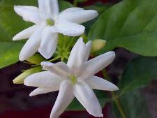 25 SEEDS ARABIAN JASMINE JUSMINUM SAMBAC WHITE SHRUB FLOWER SEEDS Single petal