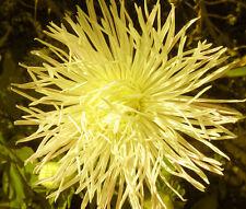 Aster Needle Unicum Yellow Callistephus Chinensis - 20 Seeds