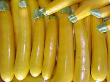 25 GOLDEN ZUCCHINI SUMMER SQUASH 2020 (all non-gmo heirloom vegetable seeds!)