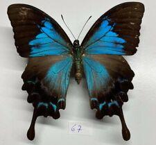 Papilionidae Papilio ulysses femelle  a1 rare  mounted ceram
