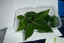 25+ hojas frescas recogido Bay, pescado, sopa, un montón de uso'S. L @ @ K