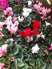 Cyclamen plant - Hardy 10cm Pot - Flowering - Mixed colours - Garden Ready