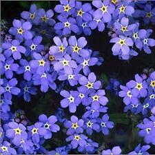 Forget Me Not Flower Seeds - Garden Seeds - Bulk