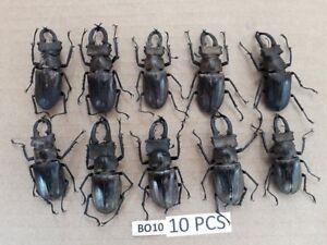 BO10 # Lot of 10 pcs * Unmounted beetle LUCANUS LUCANIDAE Vietnam North...