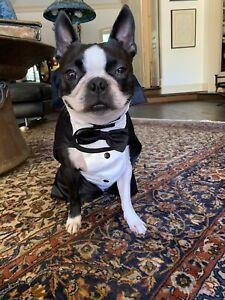 Elegant Wedding Groom Dog Tuxedo Dogs Formal Wear for Black Tie Events Weddings