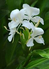 Fragrant - Butterfly Bush - White Ginger Cuban Nat'l Flower - Ginger Root #Z301