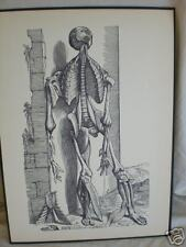 vintage MEDICAL PRINT human ANATOMY bones CHEST CUT OUT