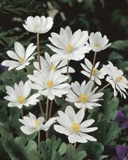 20 Bloodroot Plants Rhizomes Roots Organic Medicinal Herbs Transplant Fresh