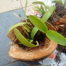 Orchid Tropical Plant Pot Natural Coconut Shell for Garden Husks Eco friendly