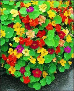 NASTURTIUM Mixed 15+ seeds garden EDIBLE hanging basket trailing HOT CLIMATES