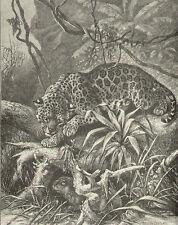 Jaguar Stalks Prey 4 Lunch African View Vintage 1898 Antique Art Print