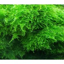 Christmas Moss In Cup - Aquatic Live Plants Super Price!