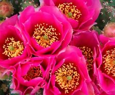 COLD HARDY OPUNTIA MINIATURE  PRICKLY PEAR CACTUS, PINK FLOWER 2 For 1 SALE!!!