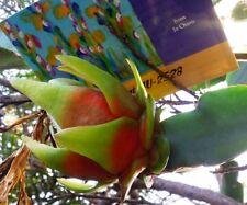 Cactus Pitaya Edible Dragon Fruit Yellow(Pollinated xRED) Large Cuttings 2528