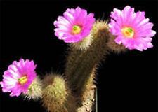 Echinocereus spinigemmatus @ rare cactus seed 15 Seeds