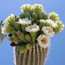 25+ Seeds Giant Saguaro Cactus Carnegiea Gigantea seeds Usa-Seller!