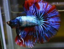 <Have video> BETTA FISH FANCY OHM MALE
