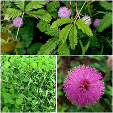 100 graines mimosa Sensitive, mimosa sensible, plantes sensibles, graines F