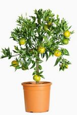 Samen Saatgut exotische Zimmer-Pflanzen Terrasse Balkon Mandarinenbäumchen