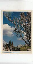 BF31809 l amandier en fleurs an almond tree out   france front/back image