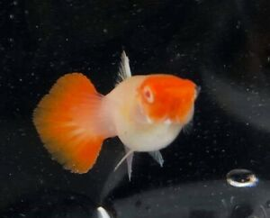 2 Pair Guppy Live Fish Albino Koi Male & Female Pet Supplies Aquariums