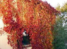 Wilder Wein Sichtschutz 10 Stecklinge 50cm lang