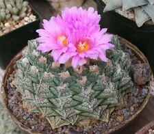 Ariocarpus Fissuratus (10 SEEDS - Mixed Forms) Very Rare Cactus Succulent Samen
