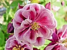 50 WINKY DOUBLE ROSE & WHITE COLUMBINE Flower Seeds