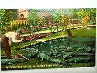 Vintage Postcard 1910s  Feeding Time at the Alligator Farm Florida FL