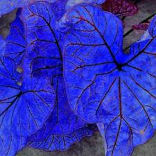 Blue Dwarf Elephant Ear Bulbs Perennial Colocasia Caladium Tropical Flower Plant