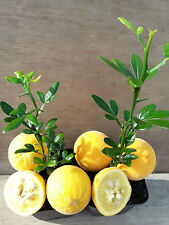 2x Bitter Orange Poncirus trifoliata scented flower citrus fruit winter hardy
