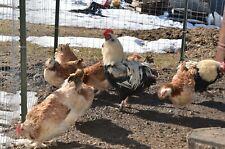 10+ Salmon Faverolles Fertilized Hatching Eggs Npip & Ai Clean