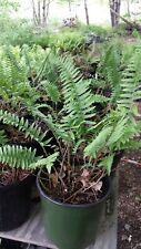 5 Christmas Fern, Polystichum acrostichoides , Select Mature Roots