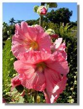 50+ Rose Colored Hollyhock Alcea Rosea / Perennial Flower Seeds