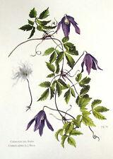 Planche ancienne botanique poster art print Clématite des alpes N°40 (FL2)