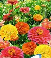 Mixed Colors Youth-and-old-age Cut Flower Zinnia Seeds ~1 Pack 50 Seeds~