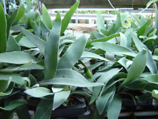 Auction: 3 Fast Growing Baby Staghorn Ferns - French variety - 'veitchii '