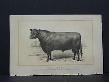 Cows Bulls Cattle Dairy Farming 1888 Engraving #141 Welsh Yearling Bull & Heifer