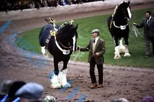 Shire Horses Doing tricks  At country Show 1980's White 35mm slide